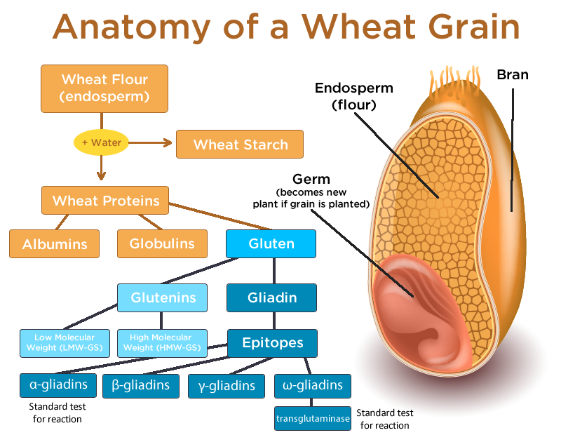 Proton Pump Inhibitors further Gluten Intolerant Wheat Sensitive likewise Animal Nutrition A Review as well Histology 36180718 as well Shy Drager Syndrome. on tissue digestion