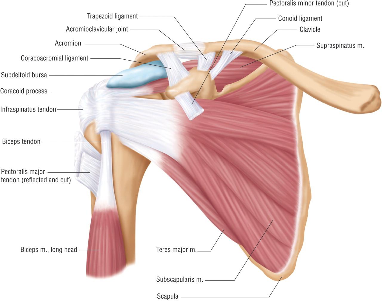 anterior deltoid muscles - photo #34