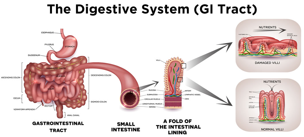the-digestive-system