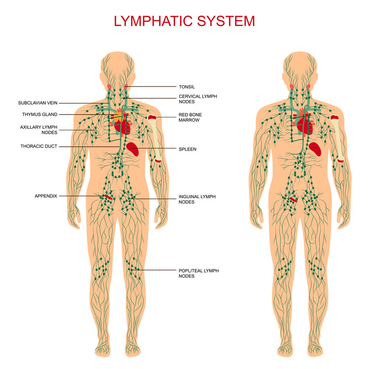 the-lymphatic-system